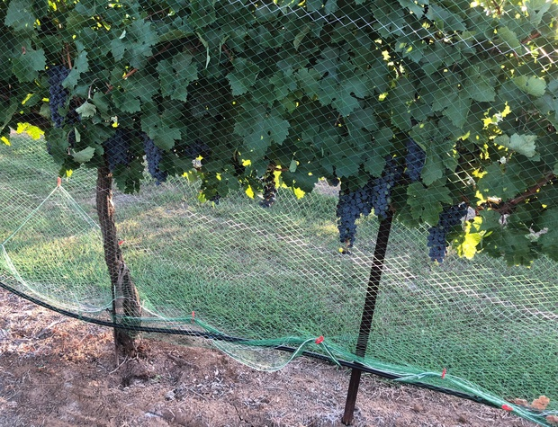 Working vineyard